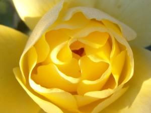 heart inside a rose